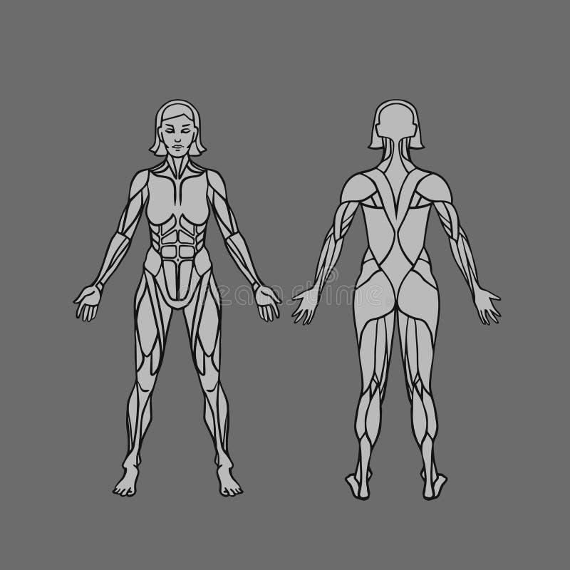 Anatomia do sistema, do exercício e do guia musculares fêmeas do músculo As mulheres muscle a arte, fronteiam-na e vista traseira ilustração royalty free