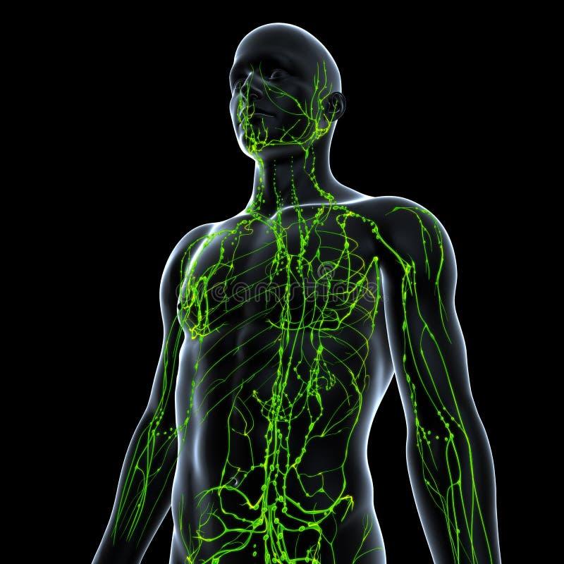 Anatomia do sistema linfático ilustração royalty free