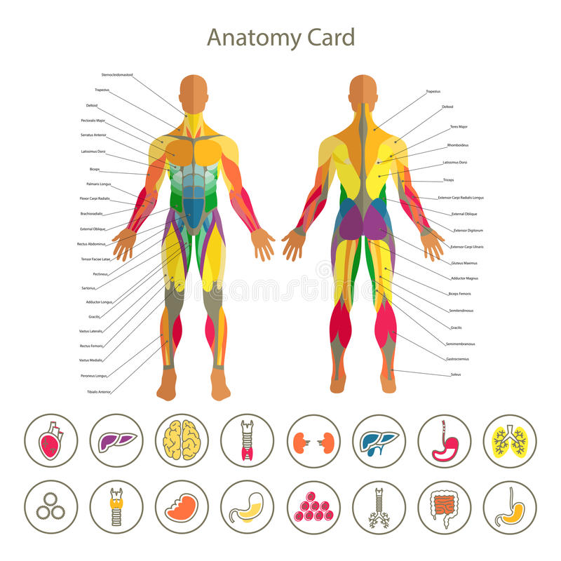 Anatomia do sistema muscular masculino Dianteiro e traseiro vista Grupo médico do ícone dos órgãos humanos ilustração do vetor