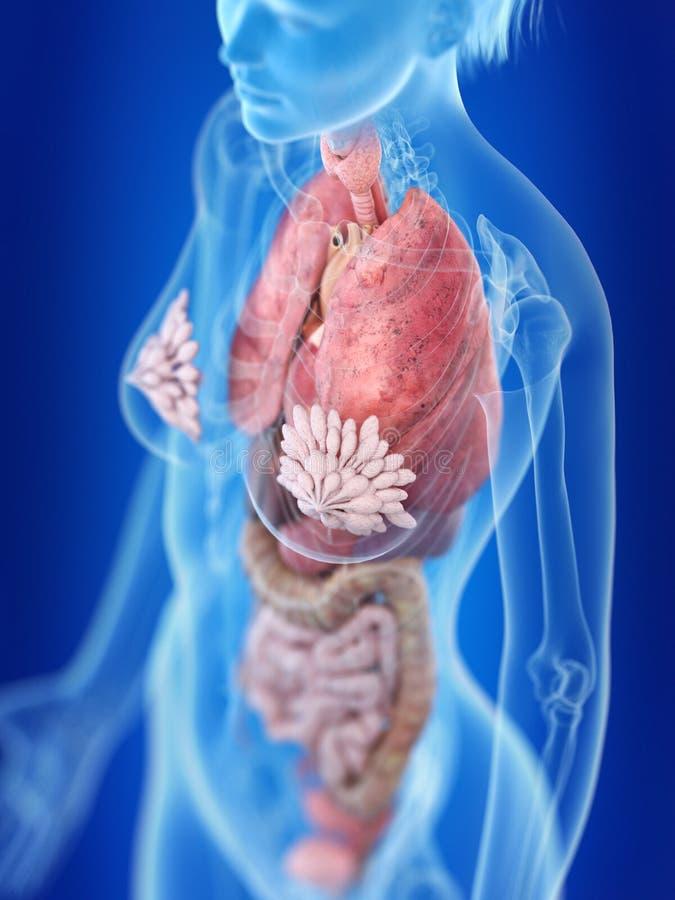 Anatomia do tórax de uma mulher ilustração royalty free