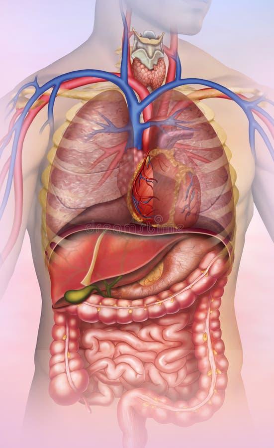 Anatomia do tronco humano ilustração royalty free