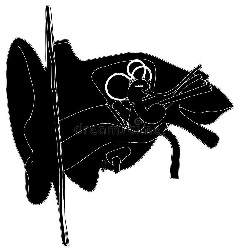Anatomia do vetor 01 da orelha ilustração royalty free