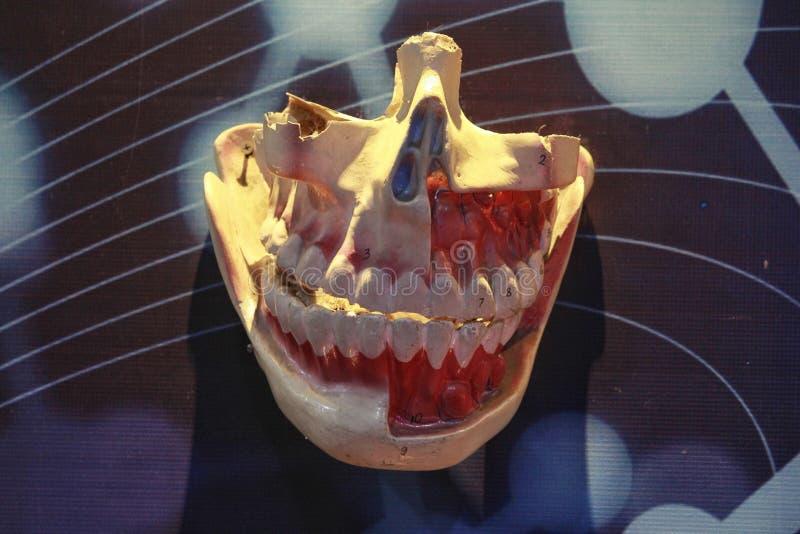 Anatomia dos dentes e das gengivas imagens de stock royalty free