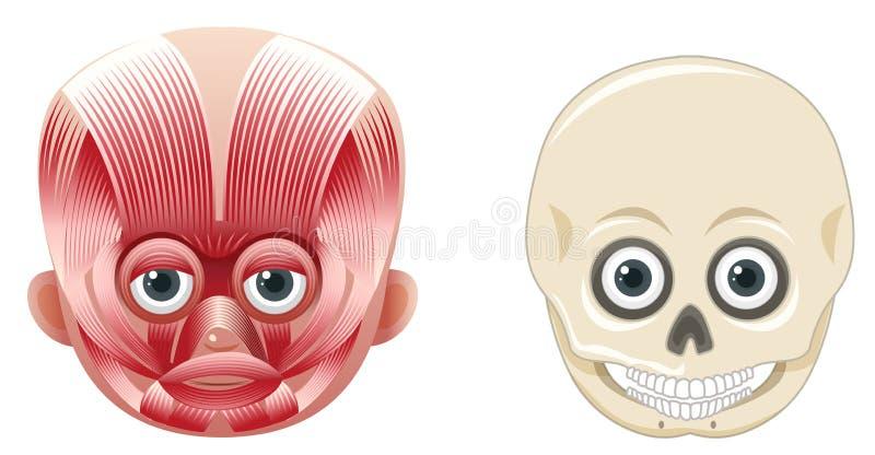 Anatomia e crânio do rosto humano ilustração royalty free