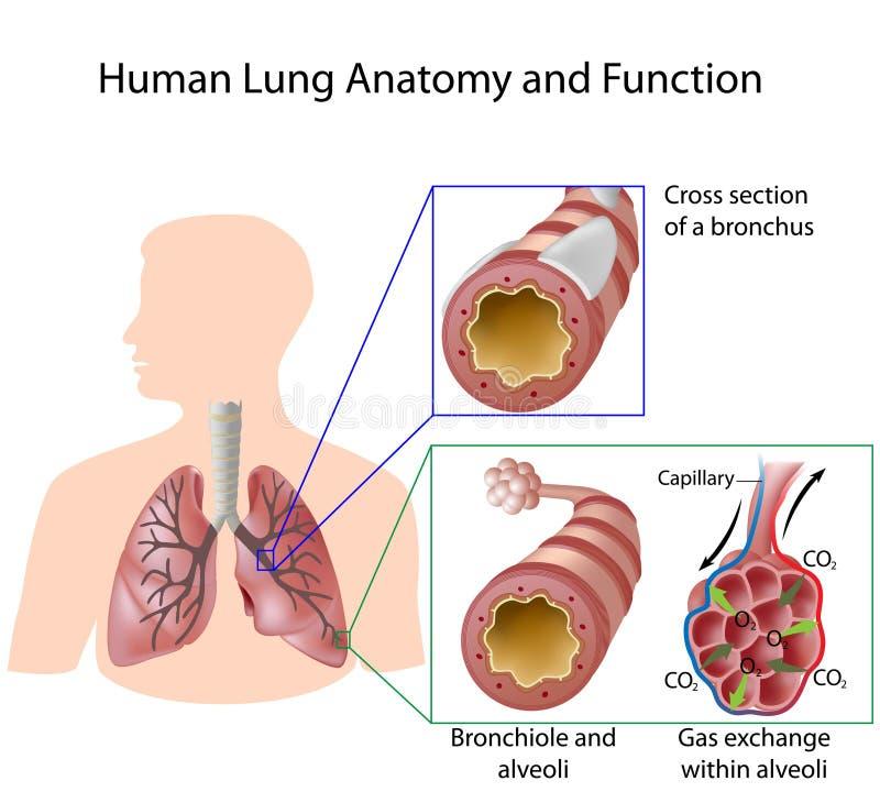 Anatomia e função humanas do pulmão ilustração royalty free