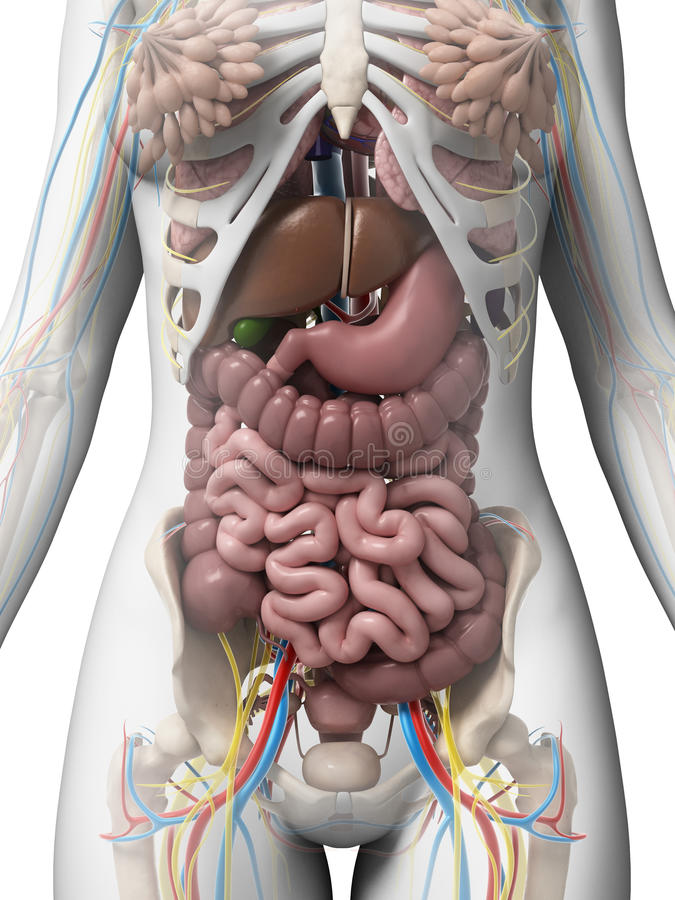 Anatomia fêmea ilustração stock