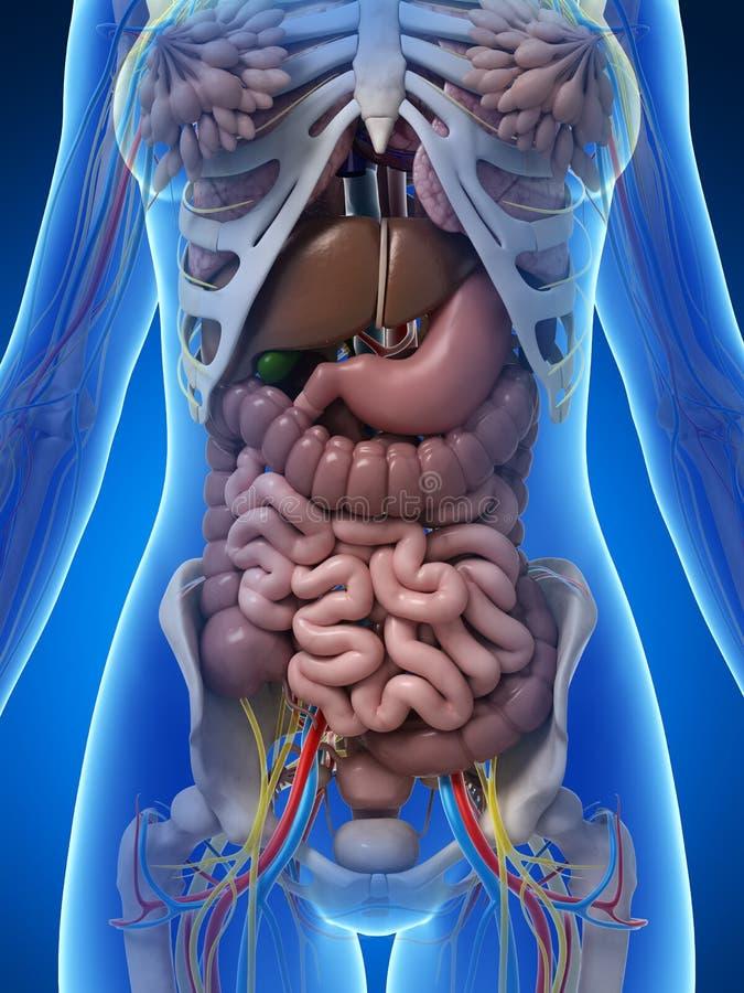 Anatomia fêmea ilustração do vetor