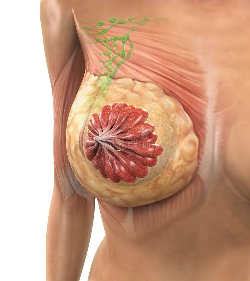 Anatomia fêmea do peito ilustração stock