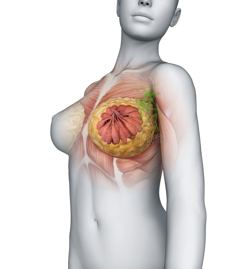 Anatomia fêmea do peito ilustração royalty free