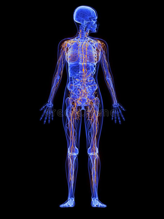 Anatomia fêmea - sistema linfático ilustração stock