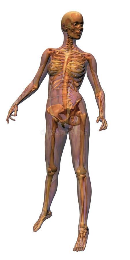 Anatomia femminile - muscolatura w royalty illustrazione gratis
