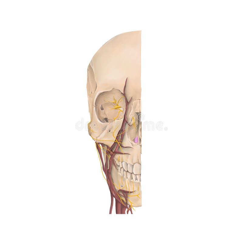 Anatomia frontowy widok kości twarz ludzka zdjęcia royalty free