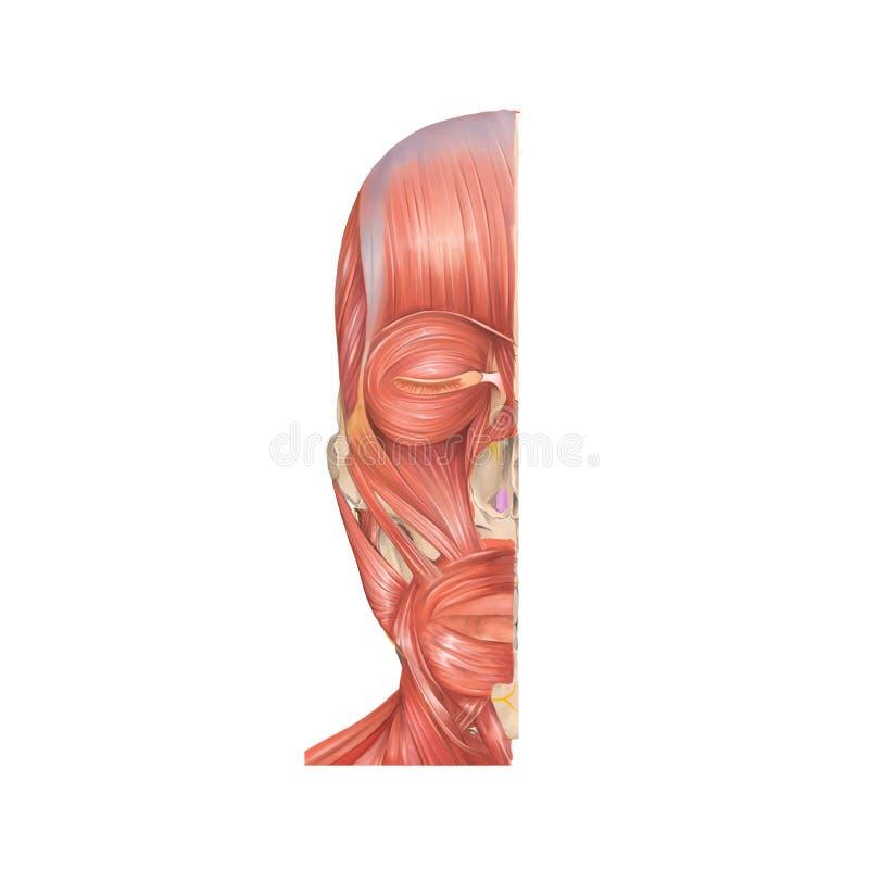 Anatomia frontowy widok początkowi mięśnie twarz ludzka royalty ilustracja