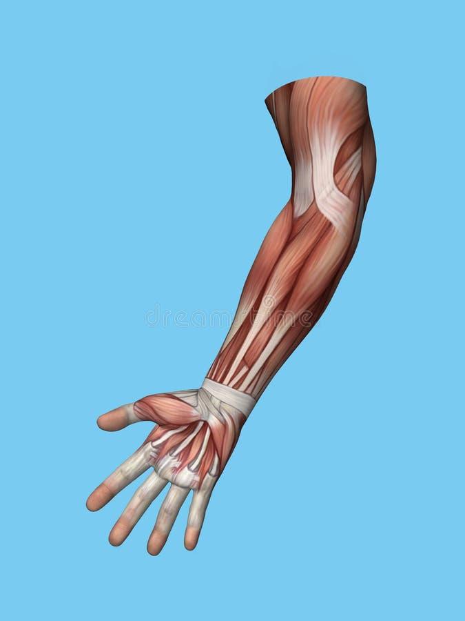 Anatomia frontowy widok ręka i ręka ilustracji