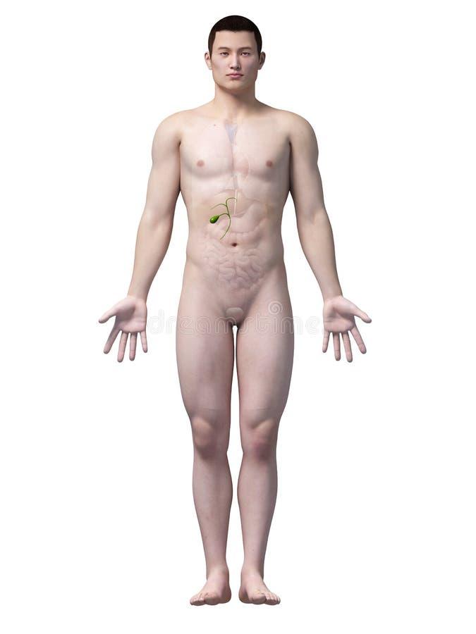 Anatomia gallbladder royalty ilustracja
