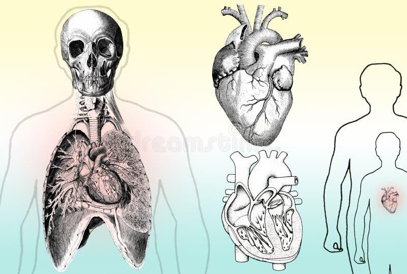 Anatomia Humana Imagens de Stock Royalty Free
