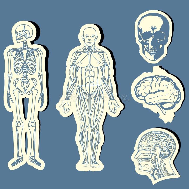 Anatomia humana ilustração do vetor