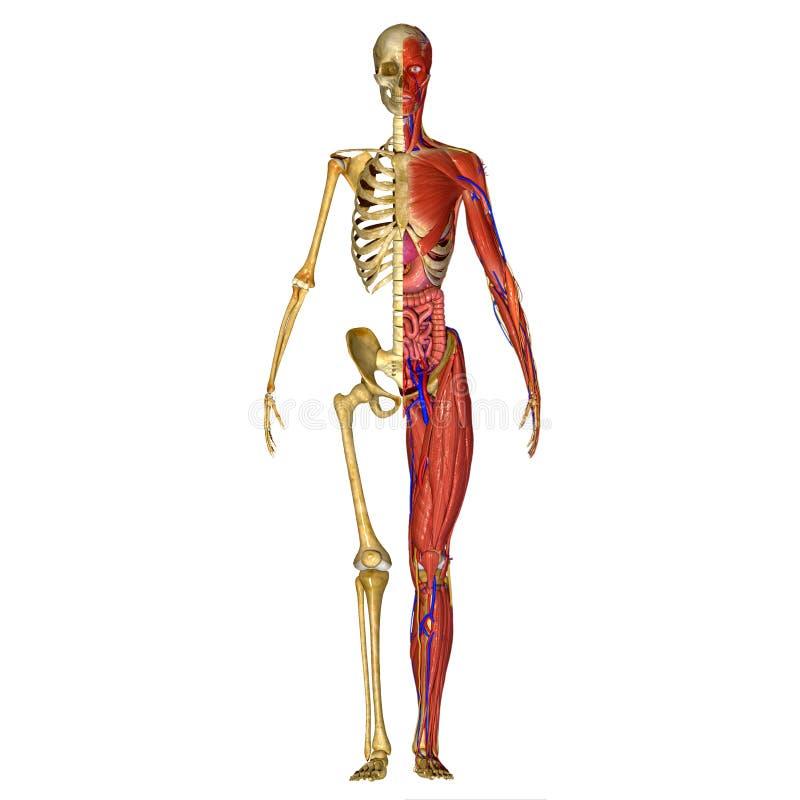 Anatomia humana ilustração stock
