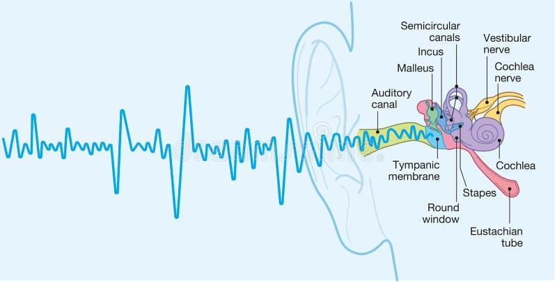 Anatomia humana com subt?tulos, da orelha ilustra??o 3D medicamente exata ilustração royalty free