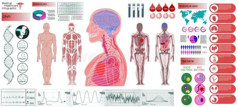 Anatomia humana, corpo com ?rg?os internos ilustração stock