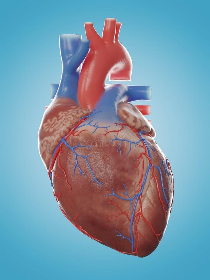 A anatomia humana do coração ilustração stock