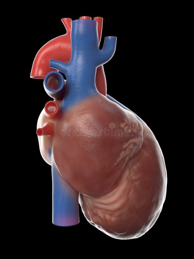 A anatomia humana do coração ilustração royalty free