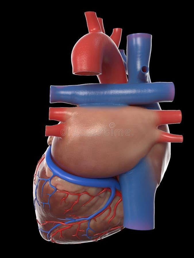A anatomia humana do coração ilustração do vetor