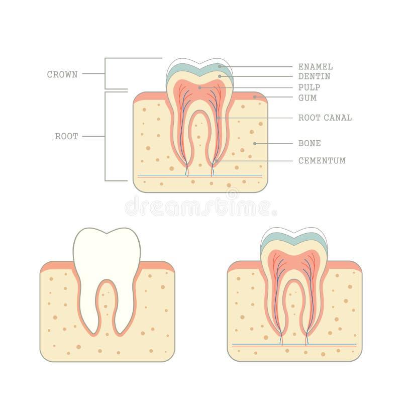 Anatomia humana do dente ilustração stock