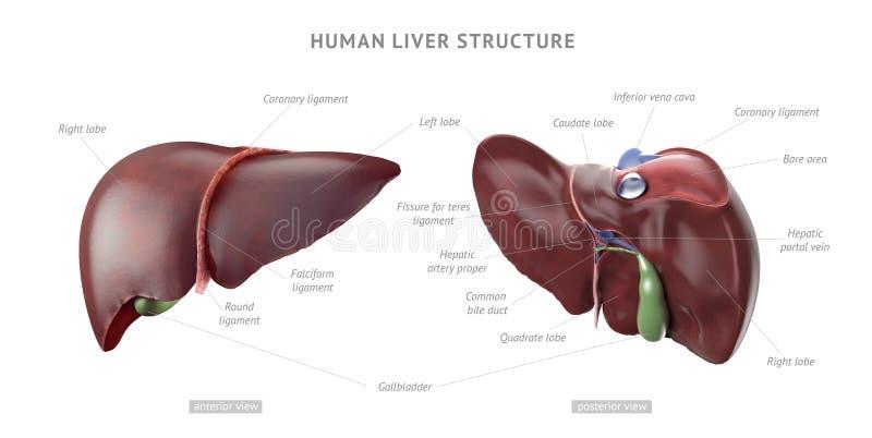 Anatomia humana do fígado ilustração royalty free