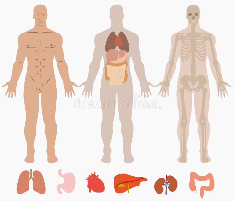 Anatomia humana do fundo do homem ilustração do vetor