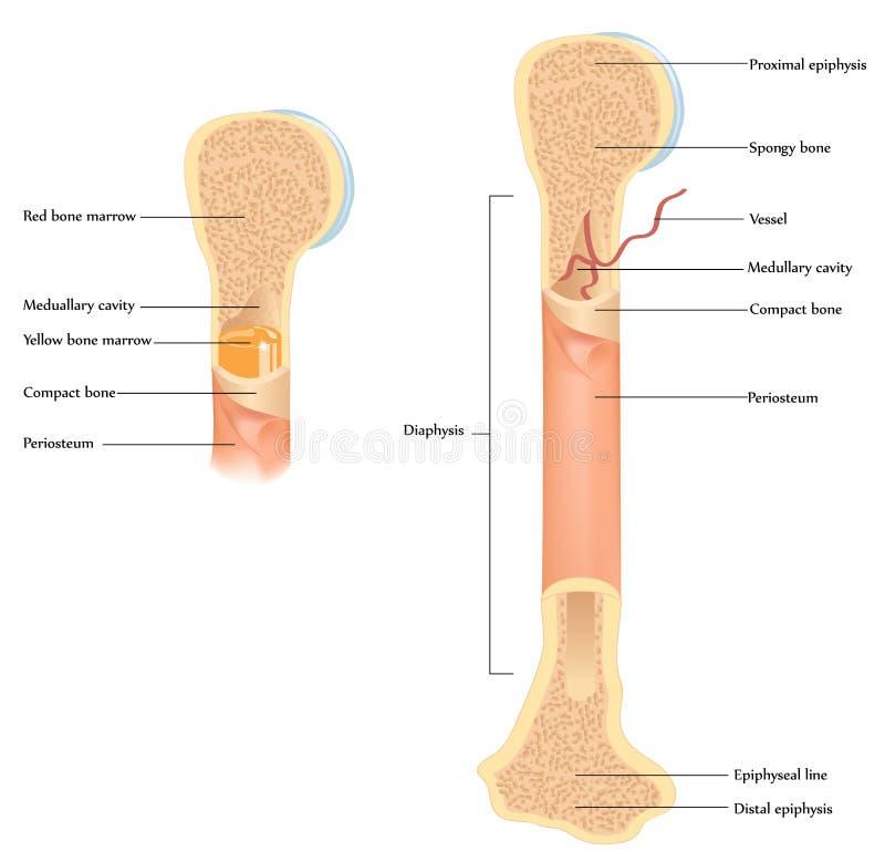 Anatomia humana do osso ilustração stock