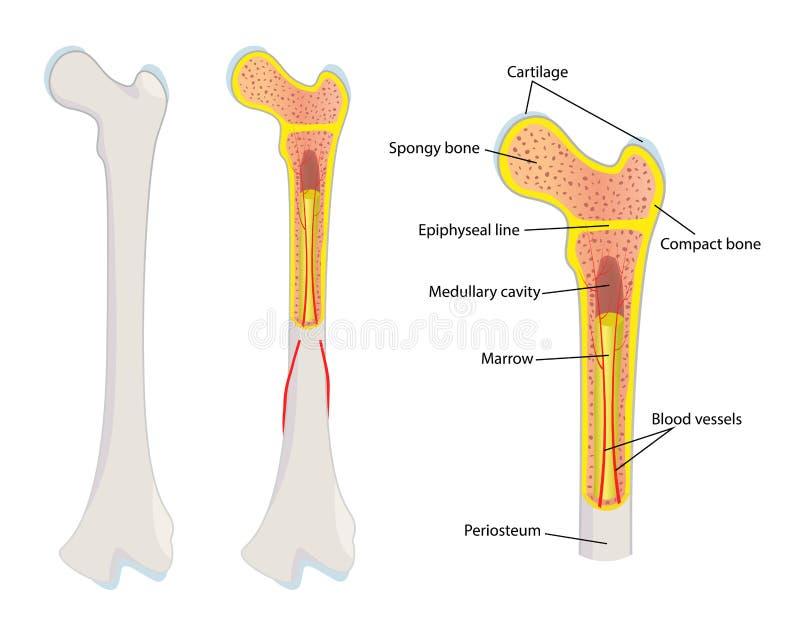 Anatomia humana do osso, ilustração stock