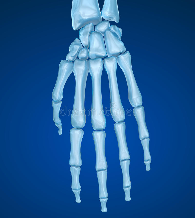 Anatomia humana do pulso Ilustração medicamente exata ilustração royalty free