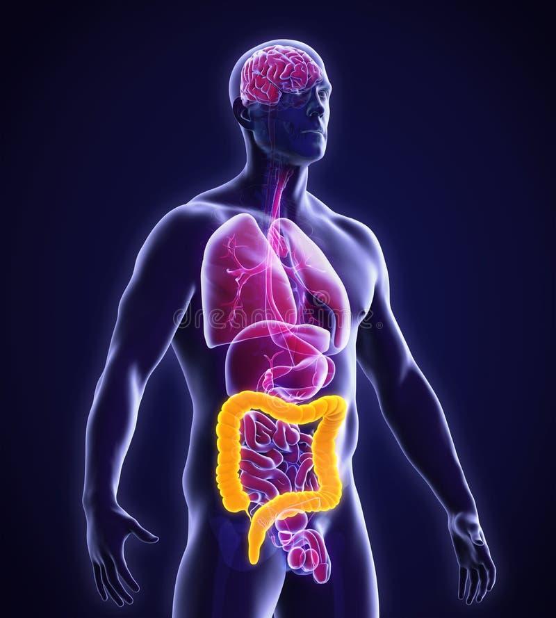 Anatomia Humana Dos Dois Pontos Ilustração Stock - Ilustração de ...