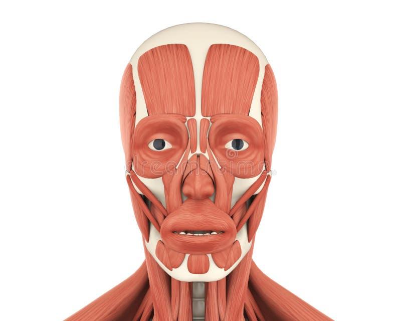 Anatomia Humana Dos Músculos Faciais Ilustração Stock - Ilustração ...