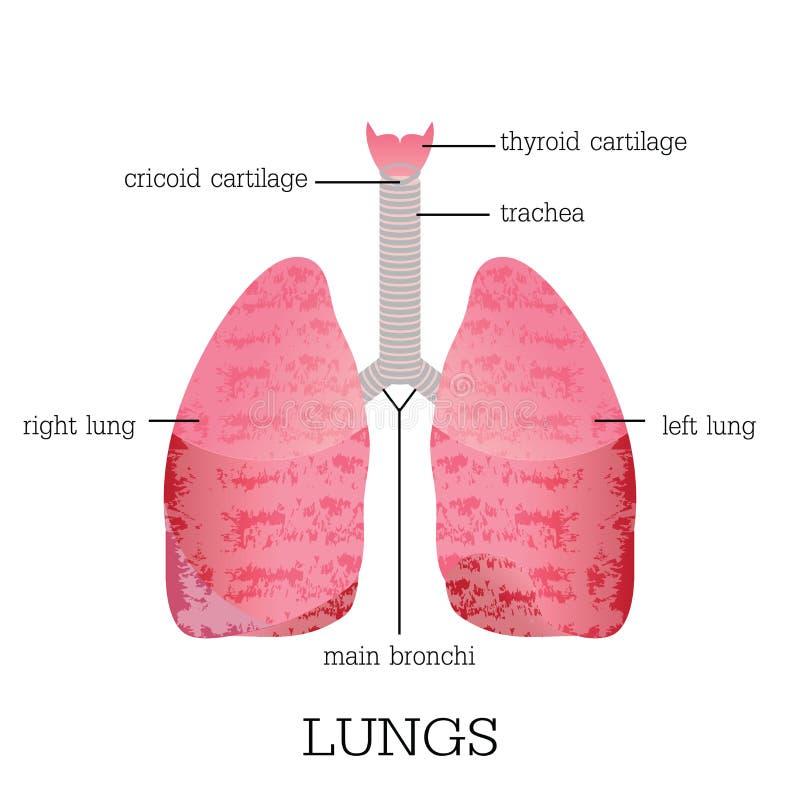 Anatomia humana dos pulmões ilustração stock