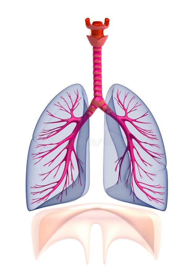 Anatomia humana dos pulmões de Transtarent. no branco ilustração royalty free