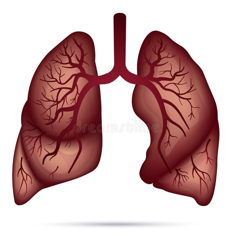 Anatomia humana dos pulmões para a asma, tuberculose, pneumonia Pulmão Ca ilustração stock