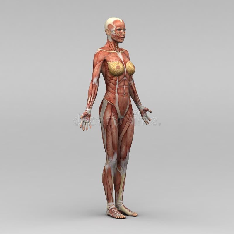 Anatomia humana fêmea e músculos ilustração stock