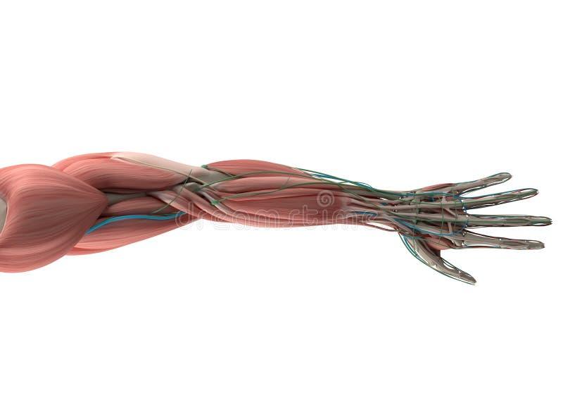 Anatomia humana, mão, braço, sistema muscular ilustração do vetor