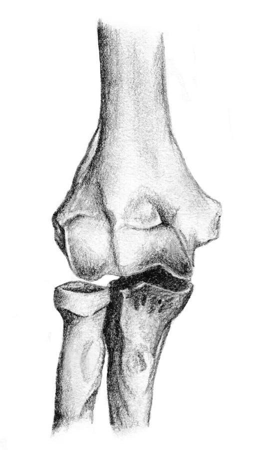 Anatomia humana, ossos do braço ilustração stock