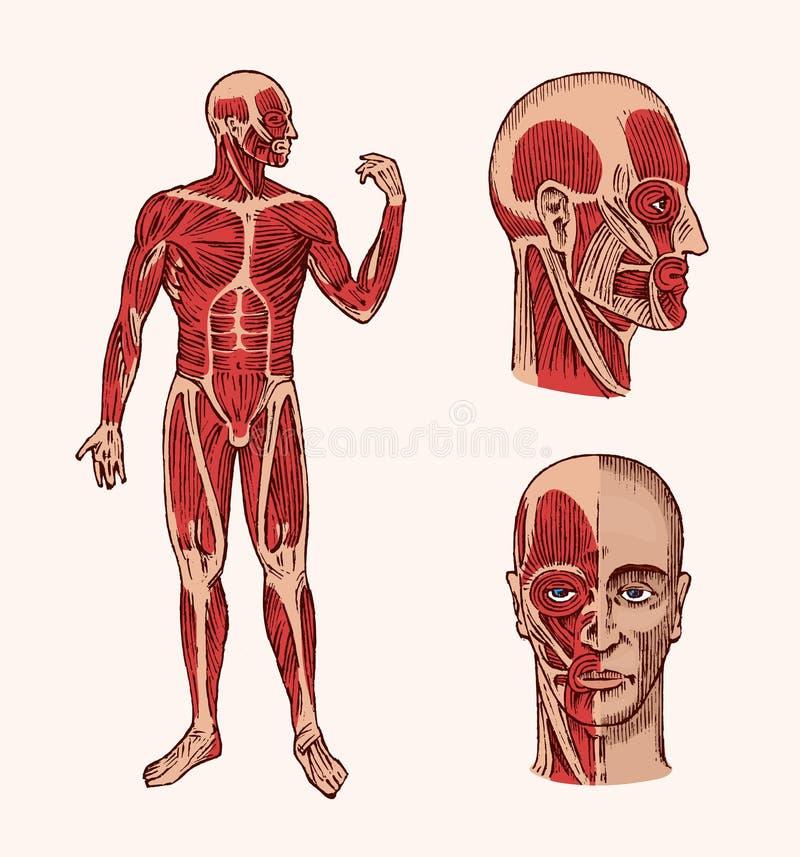 Anatomia humana Sistema muscular e do osso da cabeça Ilustração médica do vetor para a ciência, a medicina e a biologia macho ilustração stock