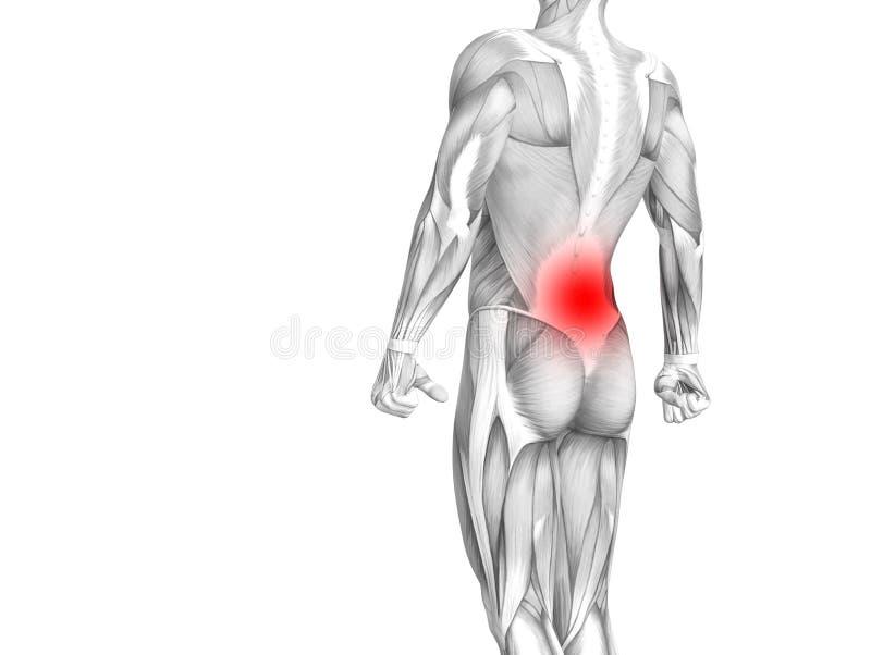 Anatomia humana traseira com inflamação encarnado do ponto ilustração do vetor