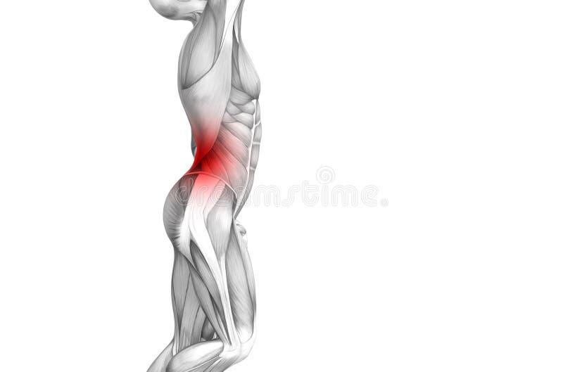 Anatomia humana traseira com inflama??o encarnado do ponto ilustração royalty free