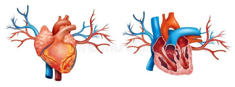 Anatomia interior e anterior do coração ilustração royalty free