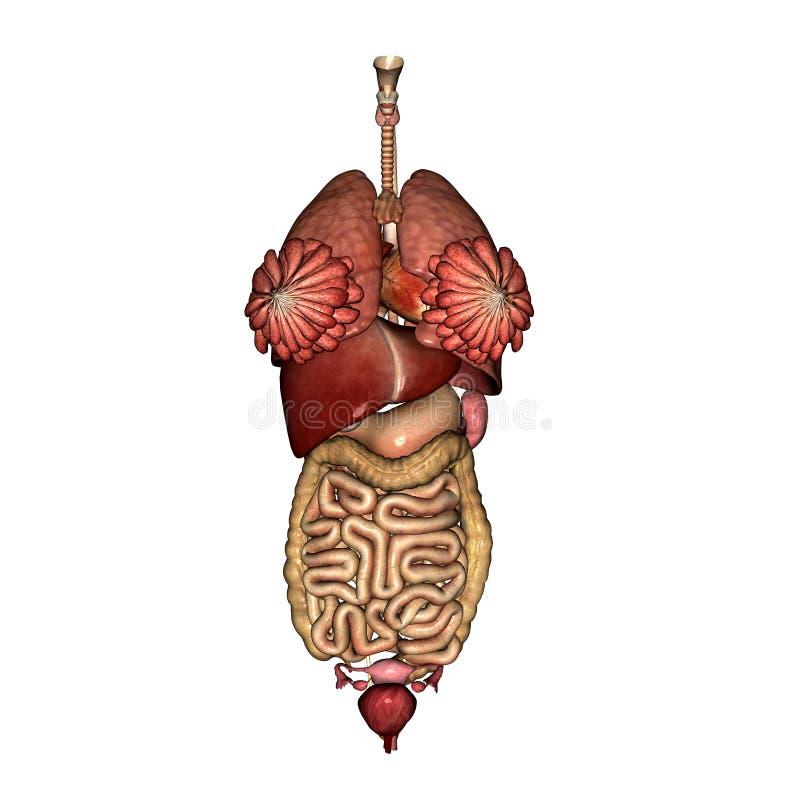 Anatomia interna fêmea ilustração do vetor