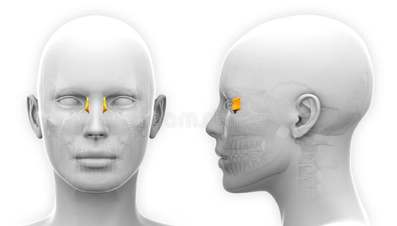 Anatomia lacrimale femminile del cranio - isolata su bianco illustrazione di stock