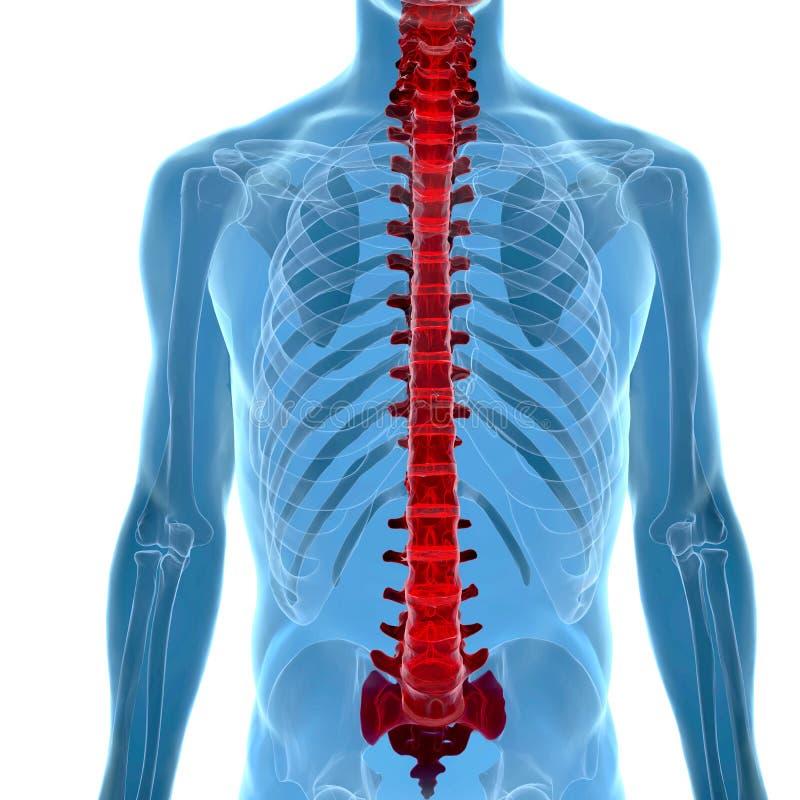 Anatomia ludzki kręgosłup w promieniowanie rentgenowskie widoku ilustracji