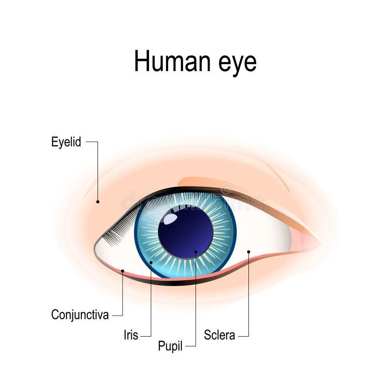 Anatomia ludzki oko w frontowym widoku ilustracja wektor