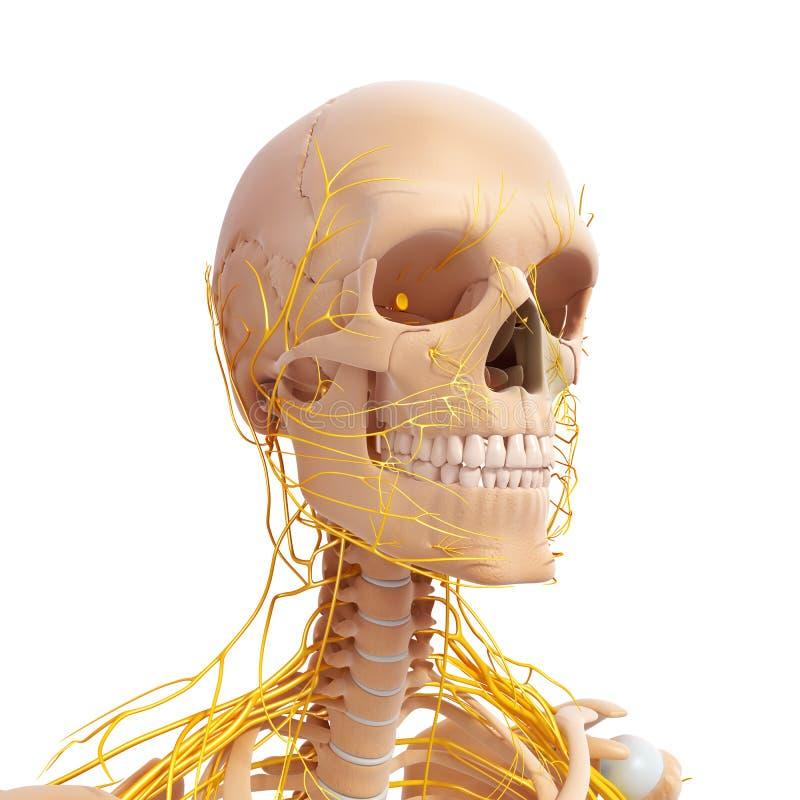 Anatomia ludzkiej głowy układ nerwowy ilustracja wektor